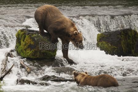 a brown bear ursus arctos climbing