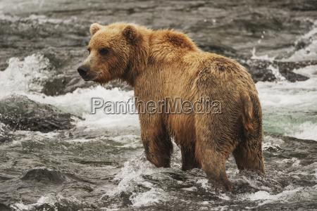 a brown bear ursus arctos fishing