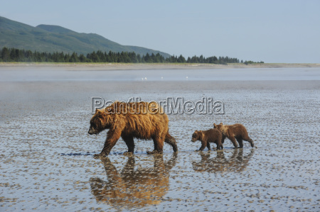 a brown bear sow and her