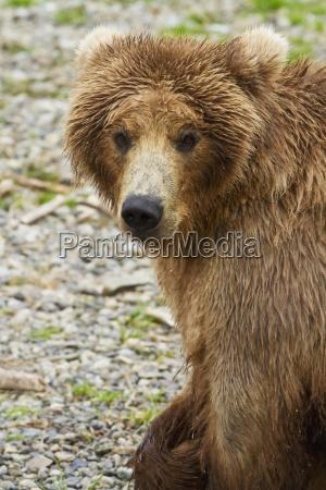 brown bear ursus arctos walking on