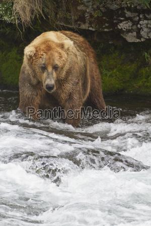 brown bear ursus arctos large male