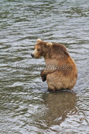 brown bear ursus arctos subadult sitting