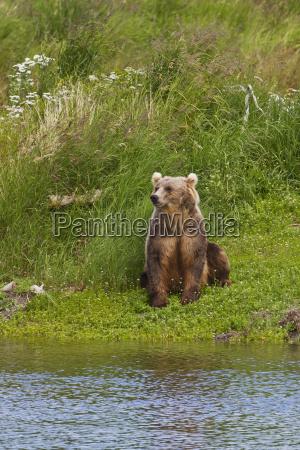 brown bear ursus arctos sitting on