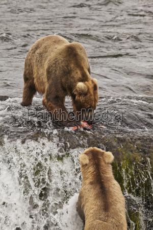 brown bear ursus arctos eating sockeye