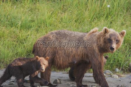 a brown bear ursus arctos walking