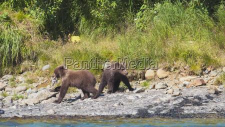 two brown bear ursus arctos cubs
