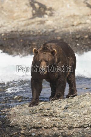 brown bear ursus arctos walking by