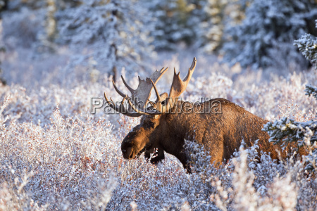 moose alces alces bull feeding on