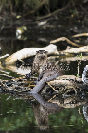 river otter land otter in a