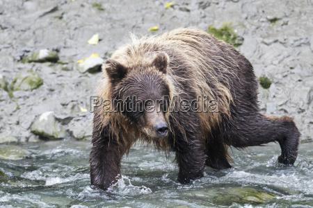 immature brown bear at bird creek