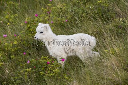 a dall sheep lamb ovis dalli