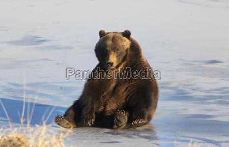 adult brown bear ursus arctos plays