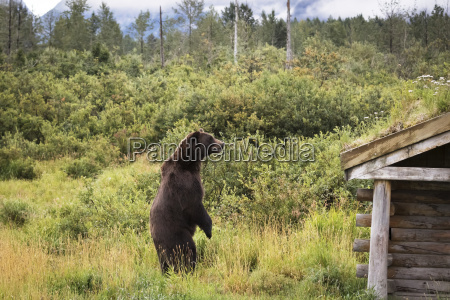 male brown bear ursus arctos looks