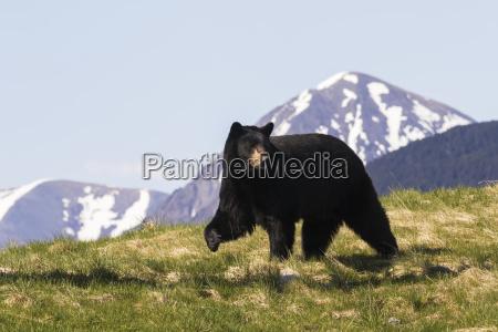 mature black bear ursus americanus walking