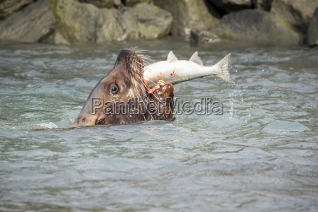 stellar sea lion bull catches fish
