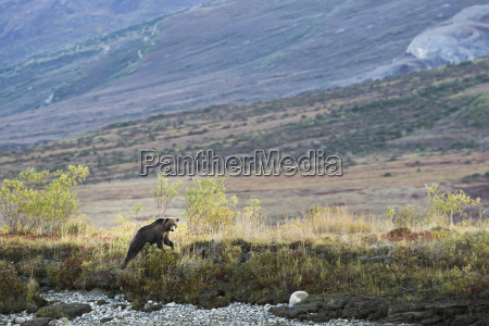 a bear in the brooks range