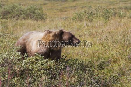 grizzly bear ursus arctos horribilis near