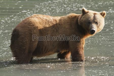 adult female grizzly bear ursus arctos