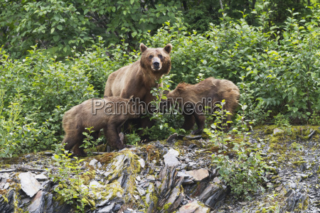 brown bear cubs ursus arctos nurse