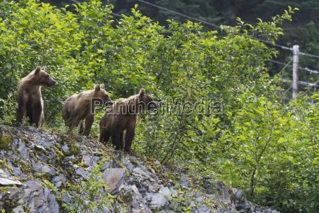 three sibling bears ursus arctos stand