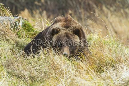 captive grizzly bear ursus arctos horribilis