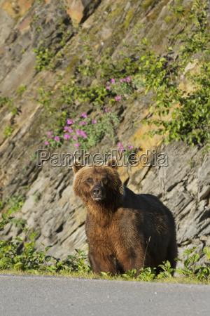 a female brown bear ursus arctos