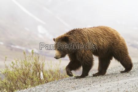 grizzly bear ursus arctos horribilis on