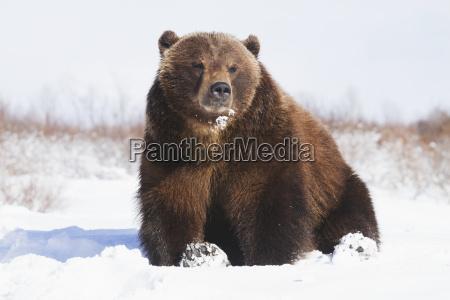 captive brown bear ursus arctos in
