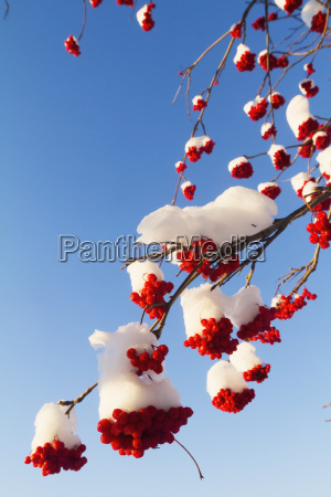 red berries on mountain ash tree