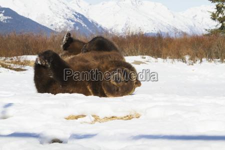 captive brown bear ursus arctos lying