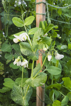 detail, organiclly, grown, snap, peas, out - 23657948