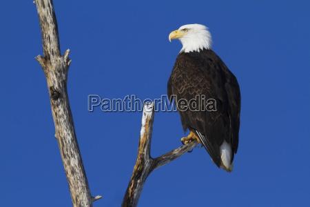 bald eagle haliaeetus leucocephalus perched on