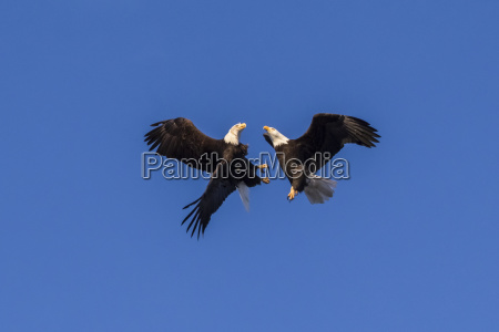 a pair of bald eagles haliaeetus