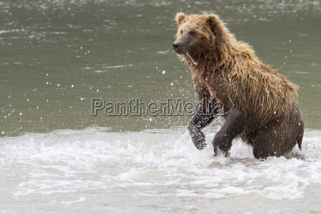 grizzly bear standing in a river