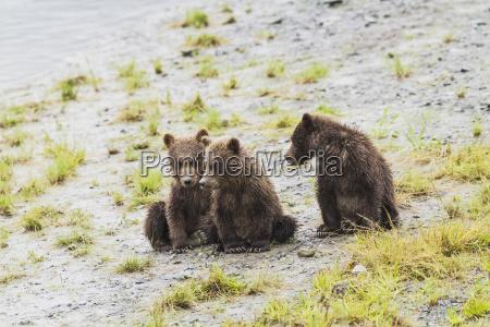 three brown bear spring cubs wait