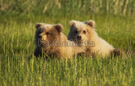 alaskan coastal bear cubs ursus arctos