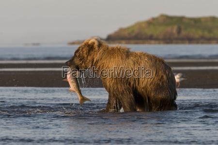 brown bear ursus arctos fishing with