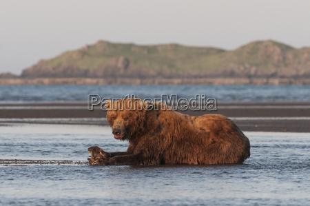 a brown bear ursus arctos laying