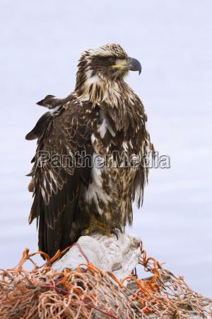 a sub adult bald eagle sits