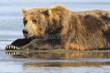 brown bear ursus arctos waiting for