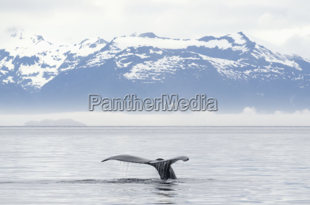 fluked tail of humpback whale megaptera