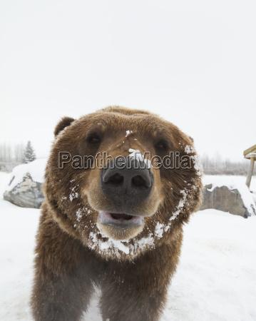 captive at the alaska wildlife conservation