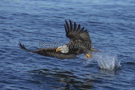 a bald eagle haliaeetus leucocephalus fishes