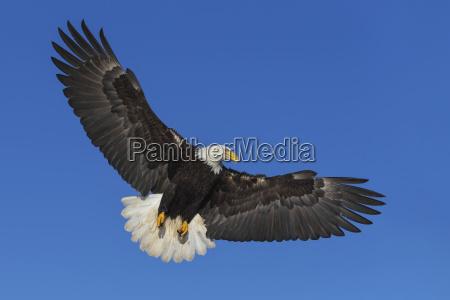 a bald eagle haliaeetus leucocephalus soars