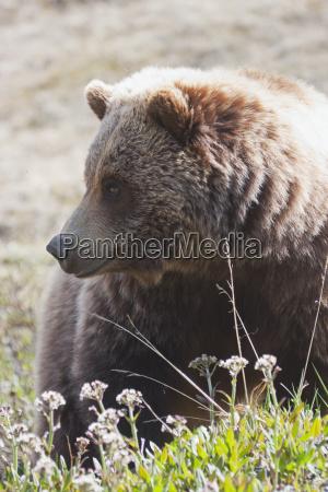 brown bear ursus arctos near park