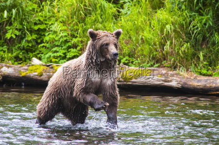 a brown bear on the russian