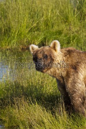 brown bear ursus arctos standing in