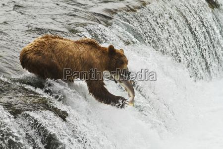 brown bear ursus arctos sow catching