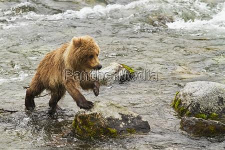 brown bear ursus arctos cub stepping