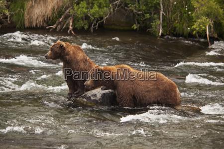 brown bear ursus arctos male and